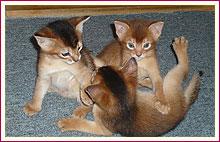 Habešská koťata 17. den od narození