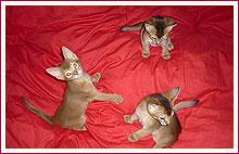 Habešská koťata téměř 2 měsíce od narození