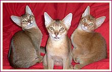 Habešská koťata téměř 3 měsíce od narození
