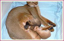 Habešská koťata 4. den od narození