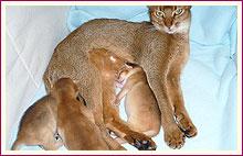 Habešská koťata 8. den od narození