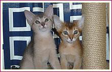 Habešská koťata