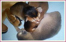 Habešská koťata 1 den po narození