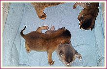 Habešská koťata 14 dnů po narození
