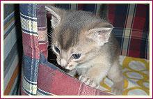 Habešská koťata 1 měsíc po narození